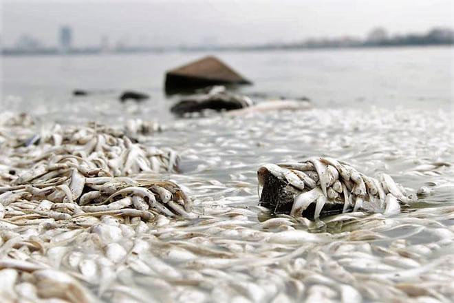 Hút bể phốt 663 tích cực tham gia vớt xác cá tại Tây Hồ Hà Nội